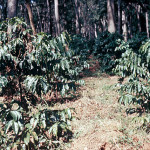 Coffee Bush