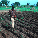 Planting Millet