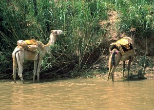 Camels Find Water