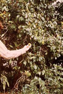 Clove Trees