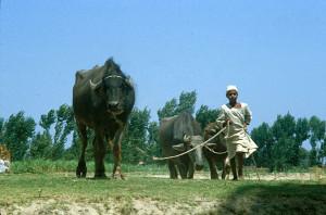 Egypt Water Buffalo
