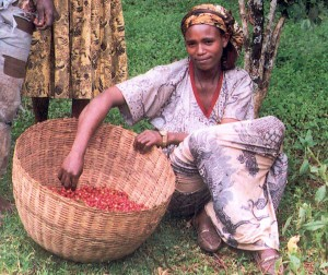 Ethiopian Woman Coffee Bean Harvest