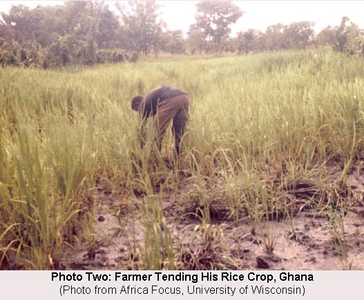 Farmer Tending Rice