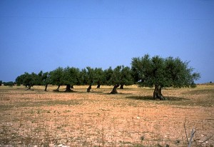 Olive Trees in Tunisia