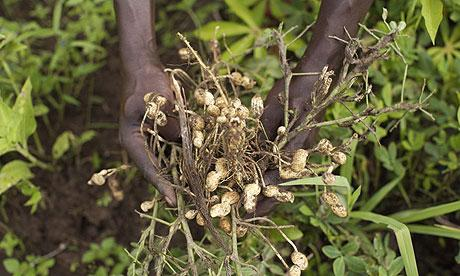 Peanut Cultivation