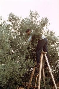Tunisian Olive Harvesting