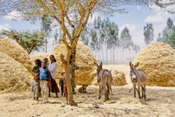 Wheat Harvest Ethiopia