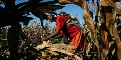 A woman harvesting corn in Malawi, an African country that is already prone to drought and faces grim prospects under global warming