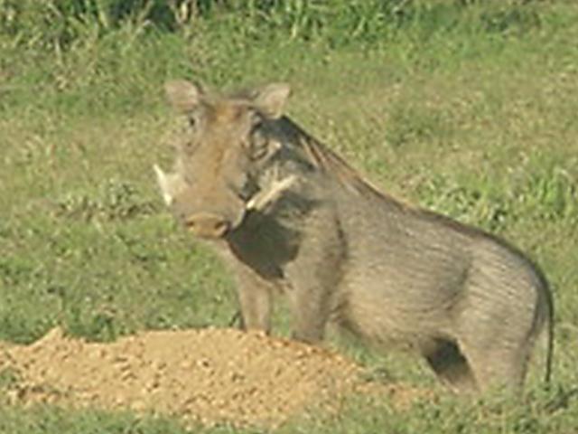 Warthog.  Addo National Park