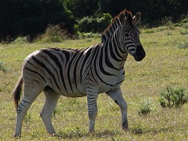 Zebra: Addo National Park