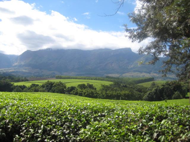 tea_zimbabwe