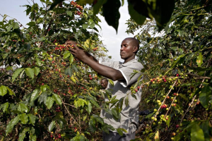 Harvesting at Coffee Plantation