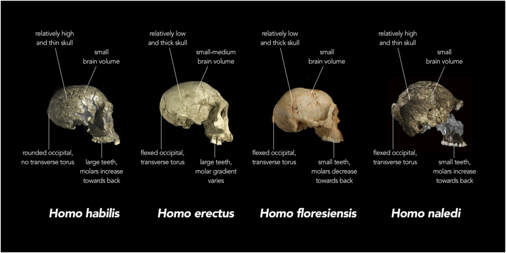 Homo Habilis and Homo erectus