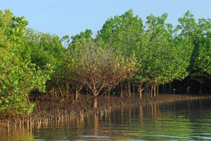 Mangrove Vegetation in Coastal Kenya